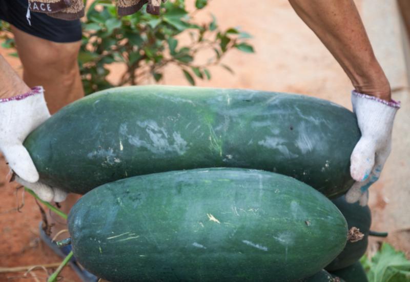 Kushmand or White Gourd
